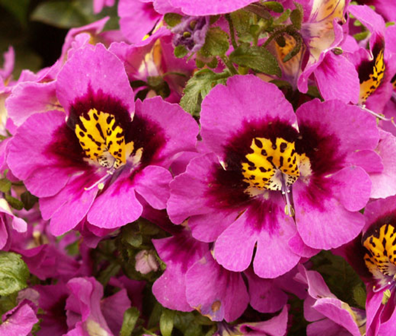 seed Angel Wings MixButterflowerSchizanthus x WisetonensisCottage GardenContainerBouquet50