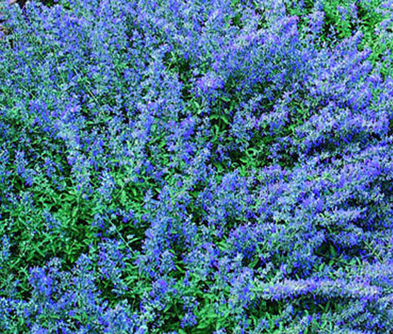 20 PERSIAN CATMINT SEEDS Purple Flowers Cat Bees Ground Cover Nepeta mussinii