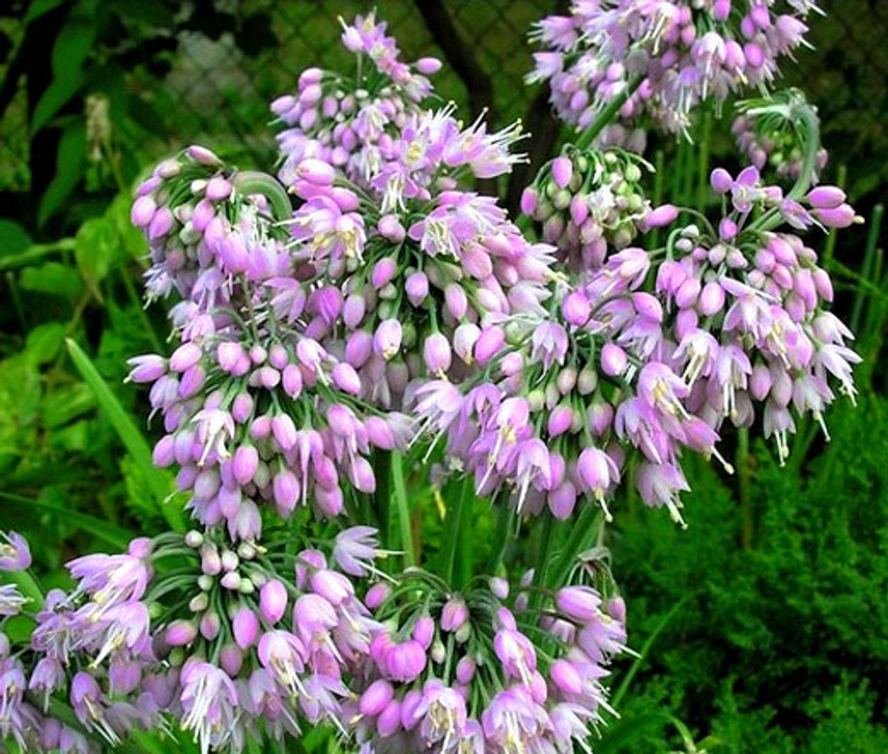 Allium Cernuum Flower Seeds