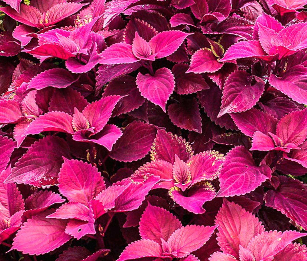 Coleus Jazz Velvet Solenostemon Scutellarioides Seeds