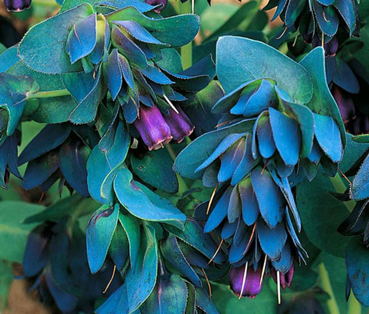 10 Seeds KIWI BLUE Honeywort Seeds Annual Flower Cerinthe