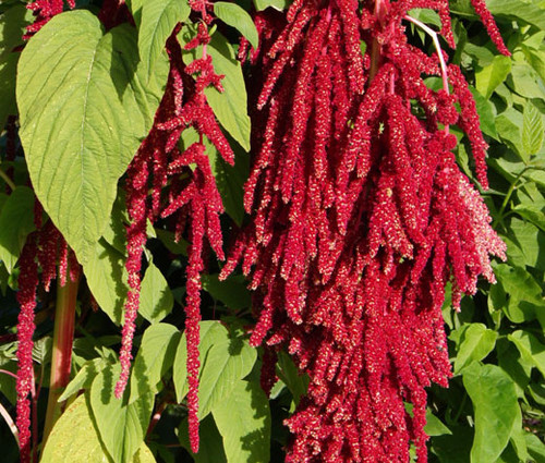 Amaranthus Love Lies Bleeding Red Amaranthus Caudatus Seeds