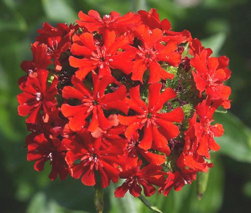 Maltese Cross Lychnis Chalcedonica Seeds