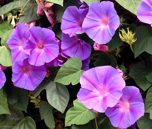 Morning Glory Mixed Ipomoea Purpurea Seeds