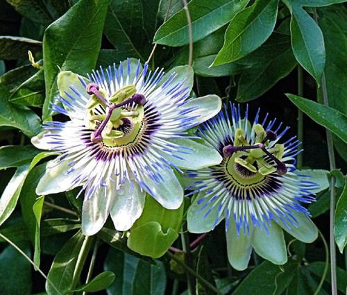 Passion Flower Blue Passiflora Caerulea Seeds