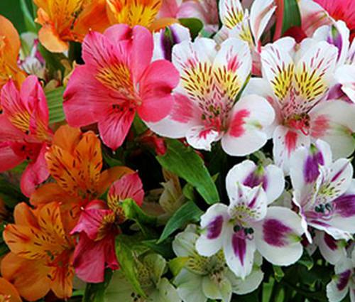 Peruvian Lily Dr.Salter's Mix Alstroemeria Ligtu Seeds
