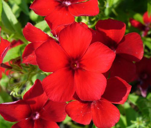 Phlox Red Phlox Drummondii Seeds