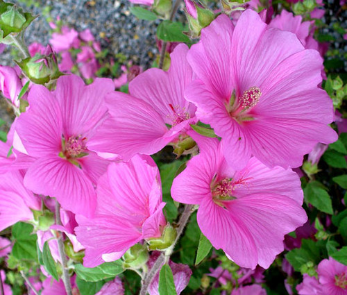 Rose Mallow Mix Lavatera Trimestris Seeds