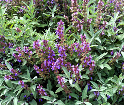 Sage Garden Salvia Officinalis Seeds