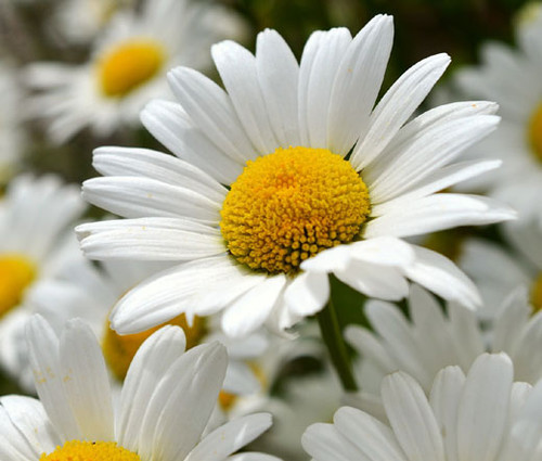 Daisy Shasta Chrysanthemum Maximum Seeds