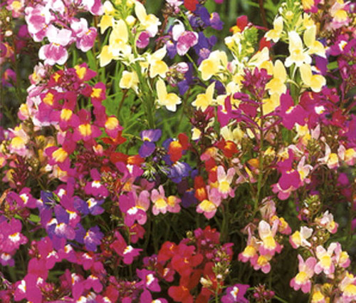 Spurred Snapdragon Toadflax Fairy Bouquet Linaria Maroccana Seeds