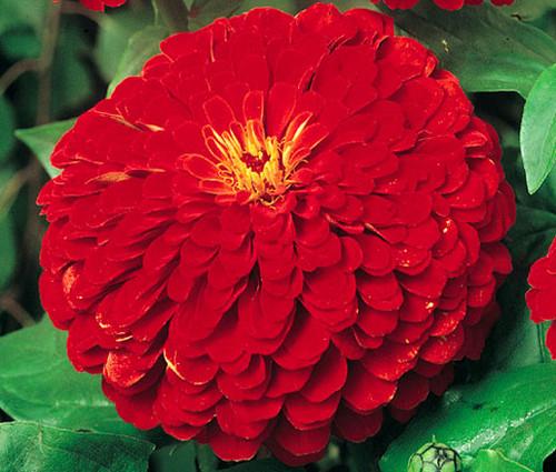 Zinnia Cherry Queen Zinnia Elegans Seeds