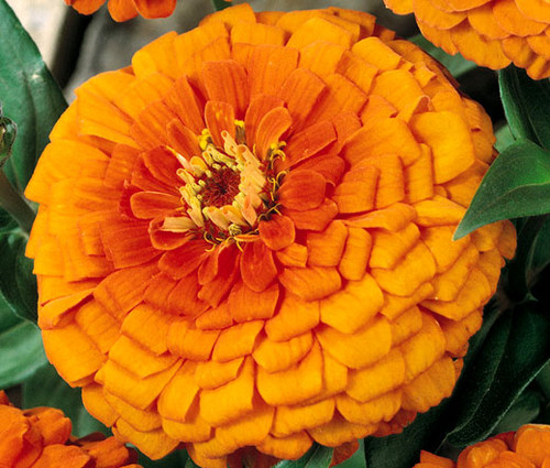 Zinnia Orange King Zinnia Elegans Seeds