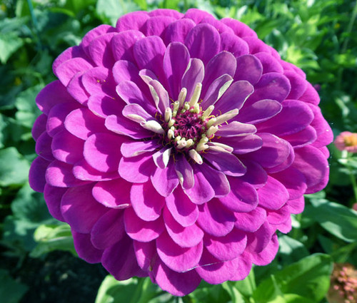 Zinnia Purple Prince Zinnia Elegans Seeds