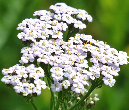 Yarrow White Achillea Millefolium Seeds