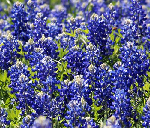 Texas Bluebonnet Lupinus Texensis Seeds