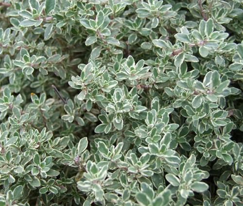 Thyme Thymus Vulgaris Seeds