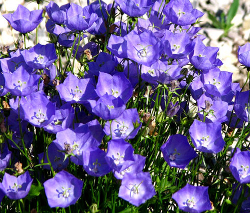 Bellflower Tussock Blue Campanula Carpatica Seeds