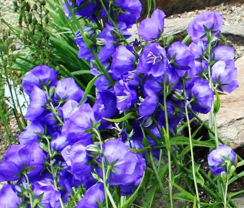 Bellflower Willow Peach-Leaved Blue Campanula Persicifolia Seeds