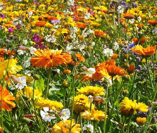 Wildflower Mix 3B Bee Bird Butterfly Seeds