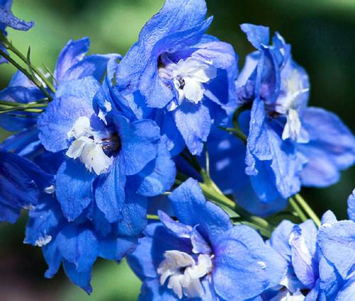 Delphinium Blue Bird Delphinium Cultorum Seeds