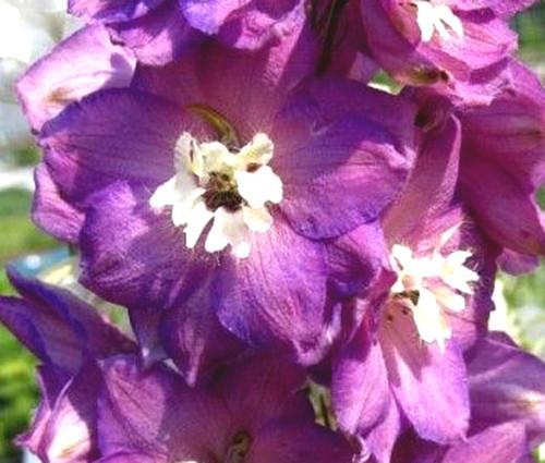Delphinium Astolat Delphinium Cultorum Seeds