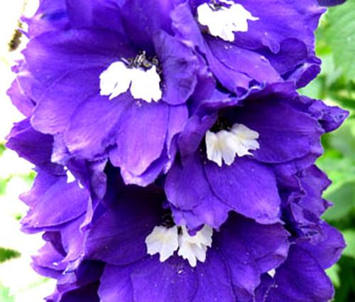 Delphinium King Arthur Delphinium Cultorum Seeds