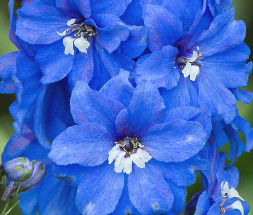 Delphinium Summer Skies Delphinium Cultorum Seeds