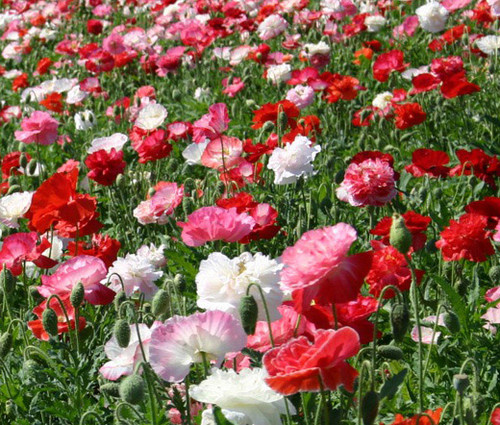 Shirley Poppy Double Mix Seeds Papaver Rhoeas