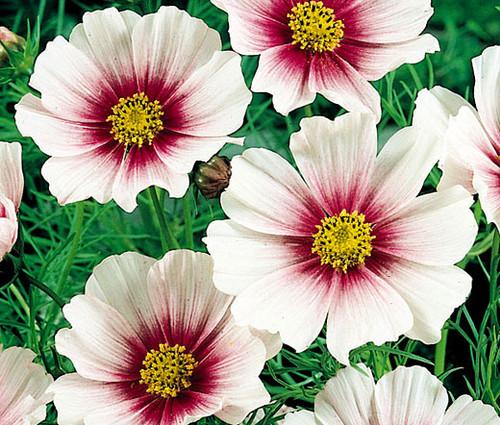 Cosmos Daydream Cosmos Bipinnatus Seeds