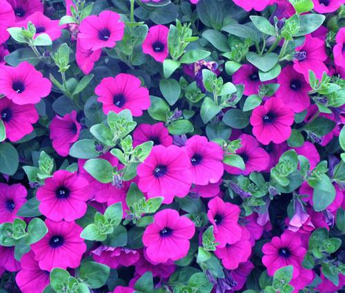 Petunia Laura Bush Petunia X Violacea Solanaceae Seeds