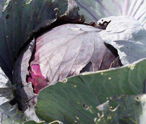 Cabbage Red Acre Brassica Oleracea Seeds
