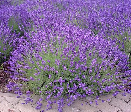 English Lavender Lavandula Angustifolia Seeds