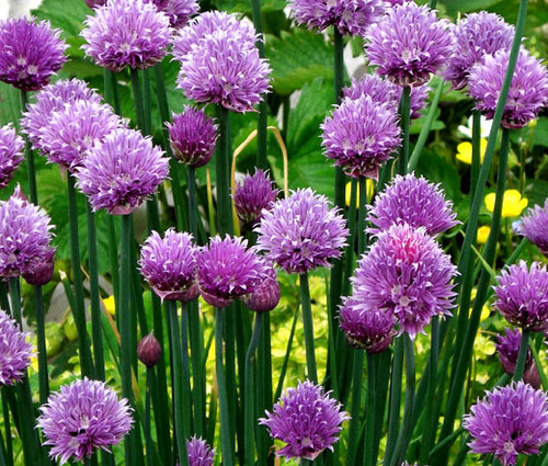 Chives Common Organic Allium Schoenoprasum Seeds