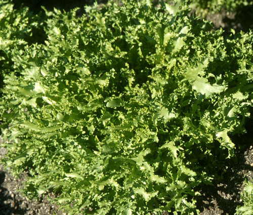 Endive Salad King Cichorium Endivia Seeds
