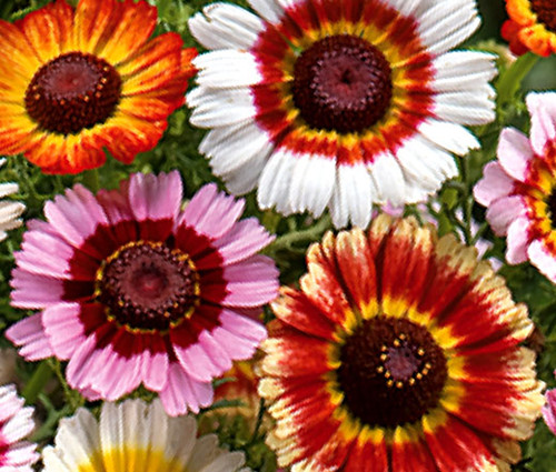 Daisy Painted Chrysanthemum Carinatum Seeds