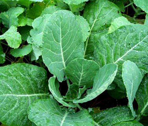 Collards Vates Brassica Oleracea Seeds