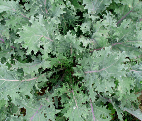 Kale Red Russian Organic Brassica Oleracea Seeds
