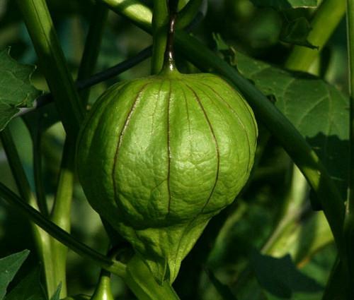 Tomatillo Green Organic Physalis Philadelphica Seeds