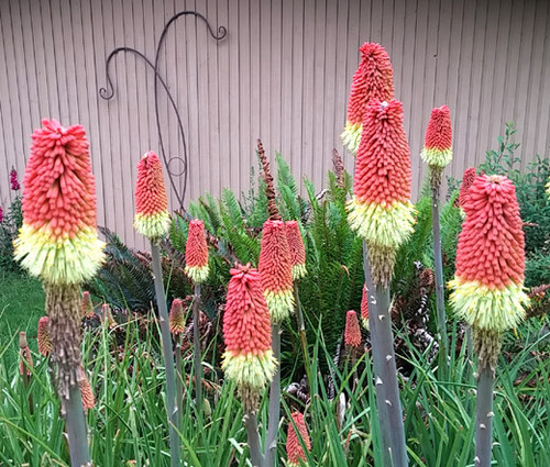 Red Hot Poker Torch Lily Kniphofia Uvaria Royal Castle Seeds