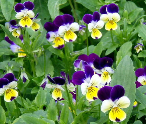 Johnny Jump Up Viola Cornuta Seeds