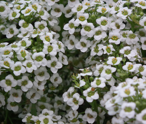 Alyssum White Carpet of Snow Lobularia Maritima Seeds