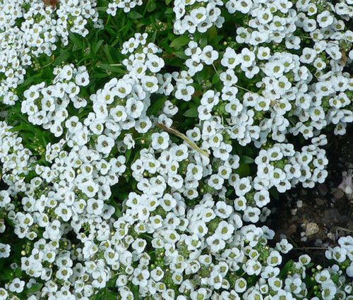 Alyssum Sweet Lobularia Maritima Seeds
