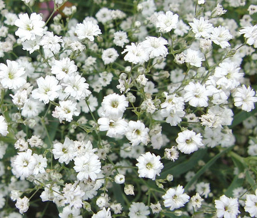 Baby's Breath Gypsophila Elegans Seeds