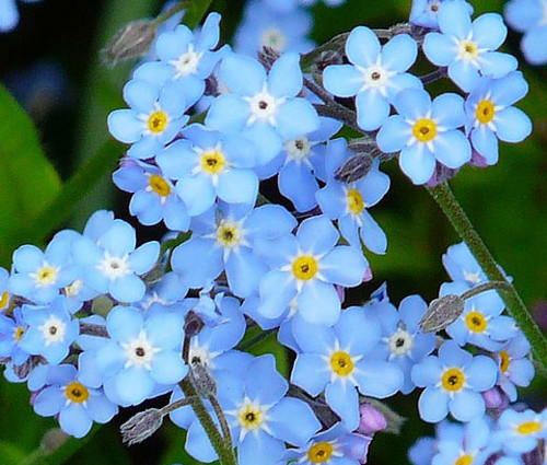 Forget Me Not Myosotis Sylvatica Bulk Seeds