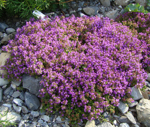 Creeping Thyme Thymus Serpyllum Seeds