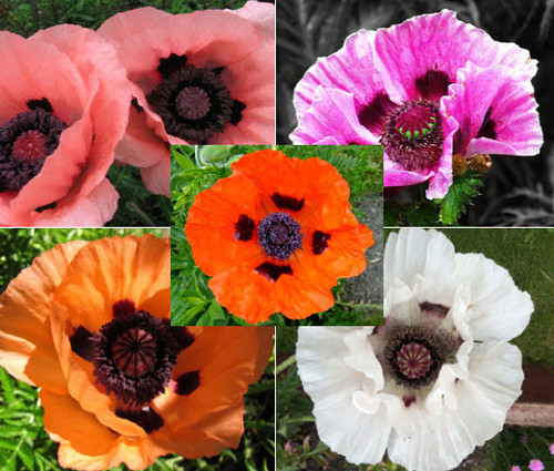 Oriental Poppy Mix Papaver Orientale Seeds