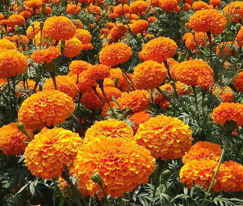Marigold Crackerjack Mix Tagetes Erecta Seeds