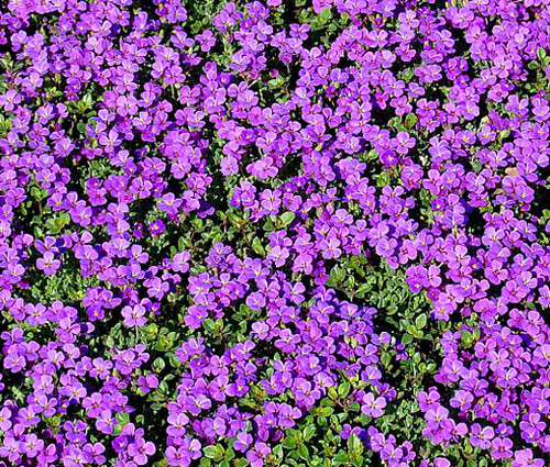 Rock Cress Purple Aubrieta Deltoidea Seeds