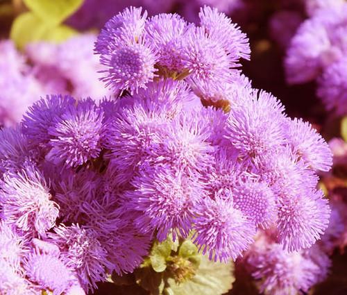 Ageratum Pink Ageratum Mexicanum Seeds